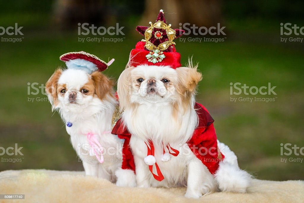 Japanese Chin Dogs in Christmas Fancy Dress Costume stock photo