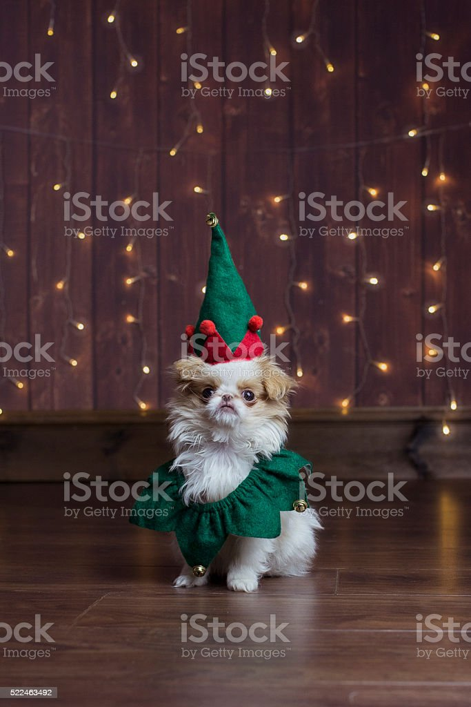 Japanese Chin in Christmas elf outfit stock photo
