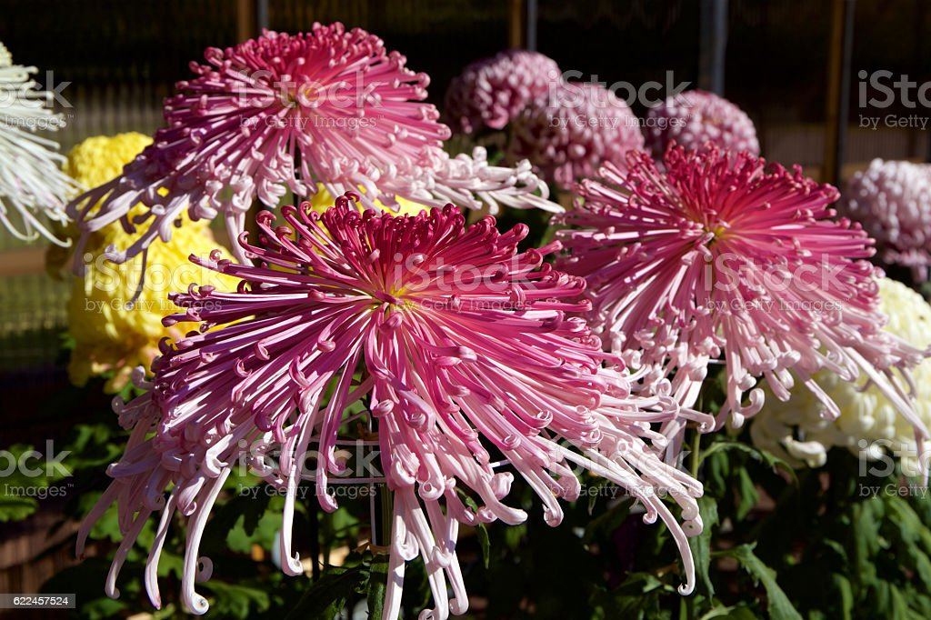 Japanese chrysanthemum stock photo
