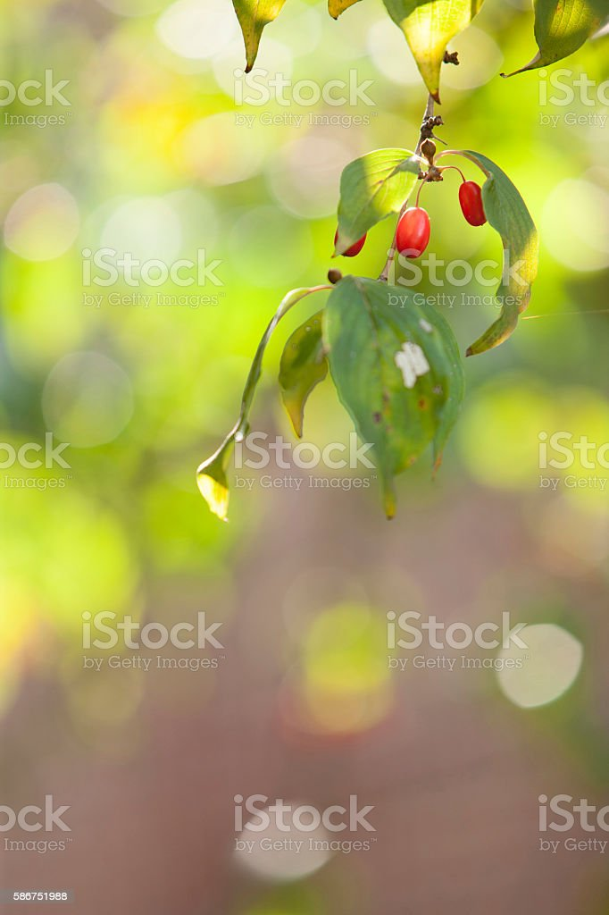 japanese cornelian cherry, cornus officinalis, stock photo