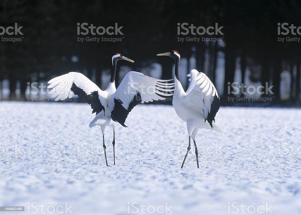 Japanese crane courtship dance royalty-free stock photo