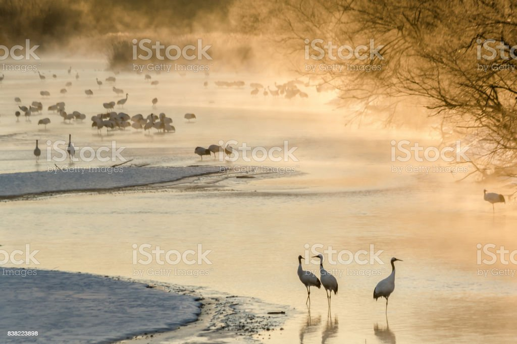 Japanese Cranes at sunrise stock photo