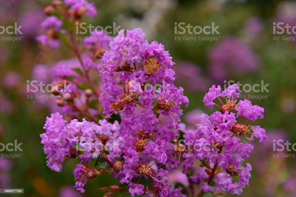 Japanese Crape Myrtle in Full Bloom stock photo