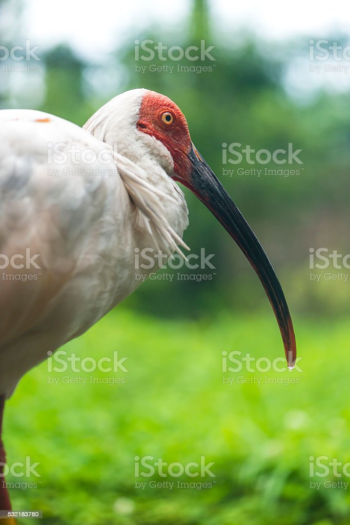 Japanese crested Ibis stock photo