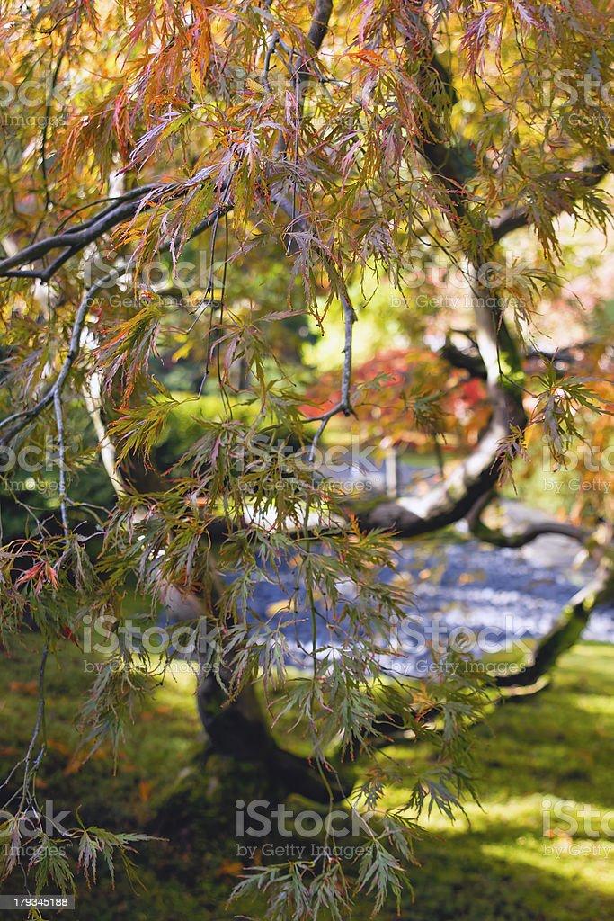 Japanese Cut Laced Leaf Maple Tree Closeup stock photo