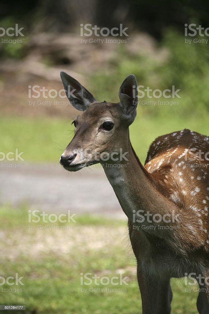Japanese deer stock photo