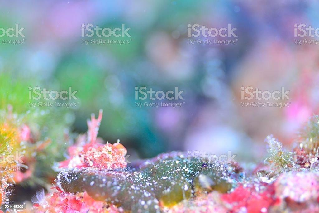 Japanese dragonet stock photo