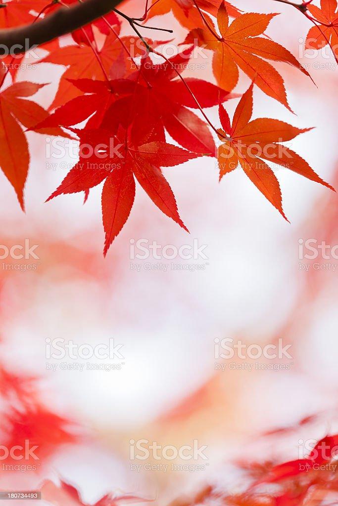 Japanese Fall Foliage royalty-free stock photo