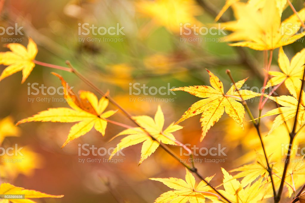 Japanese fall foliage stock photo