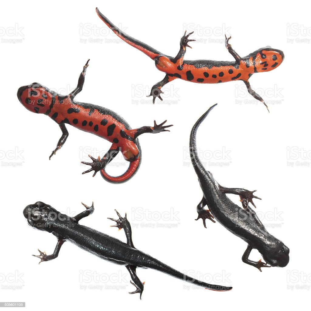 Japanese fire belly newt isolated on white stock photo