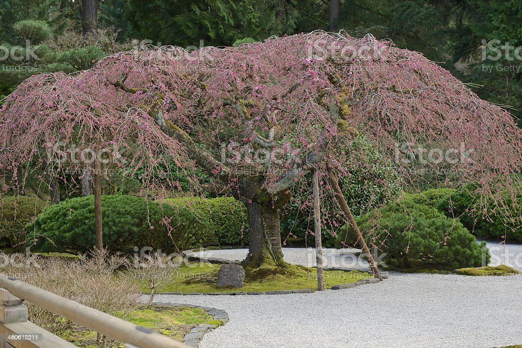 Japanese Flat Garden Weeping Cherry Tree Spring Blossum Portland Oregon stock photo