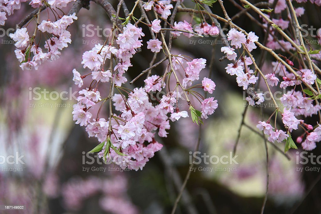 japanese flower stock photo