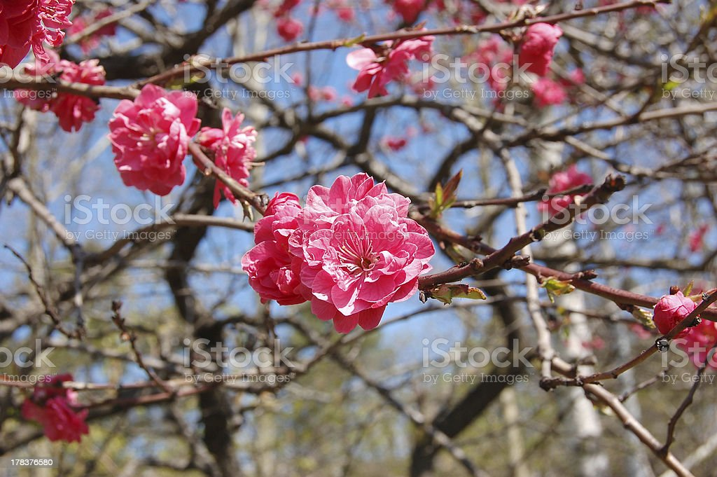 Japanese flowering cherry against the blue sky royalty-free stock photo