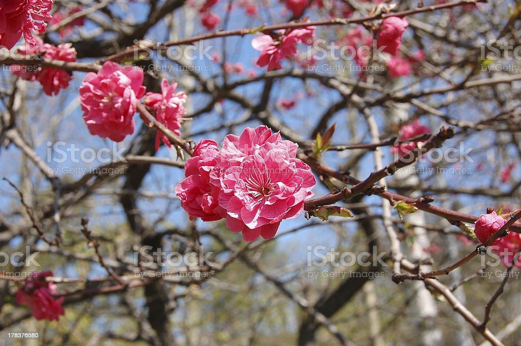 Japanese flowering cherry against the blue sky stock photo