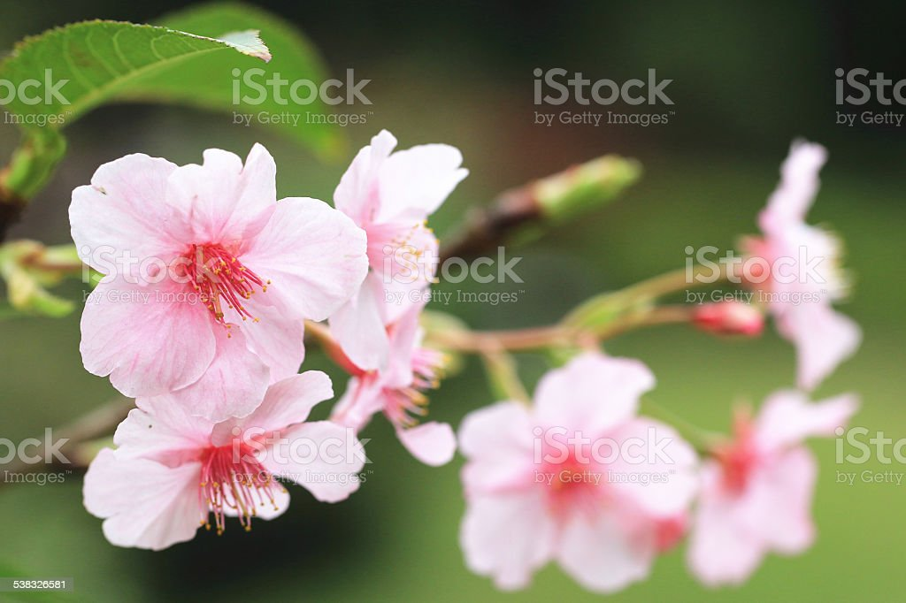 Japanese Flowering Cherry blossoms stock photo