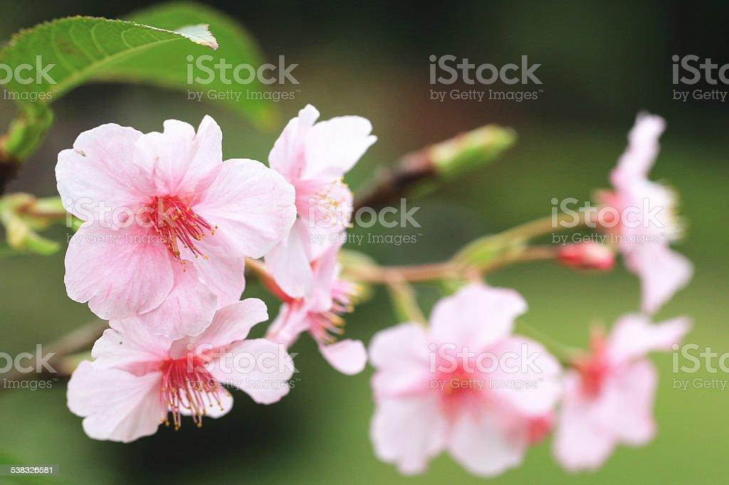 Japanese Flowering Cherry blossoms stock photo