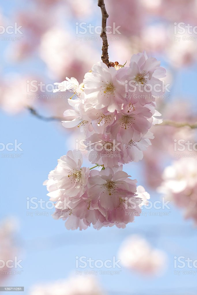japanese flowering cherry royalty-free stock photo