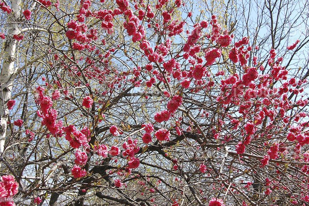 Japanese flowering cherry stock photo