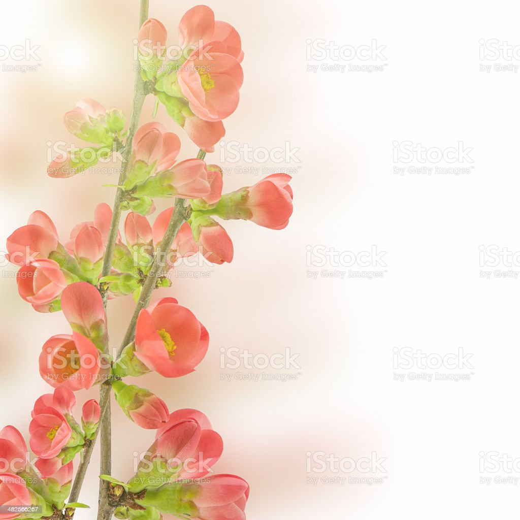 Japanese flowering crabapple stock photo