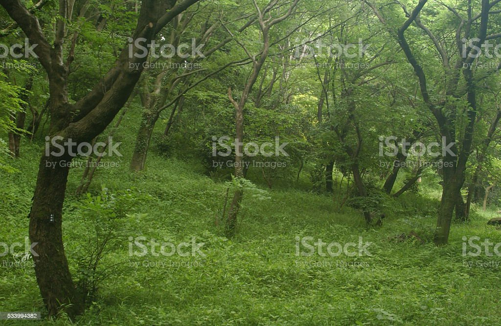 Japanese forest in summer stock photo