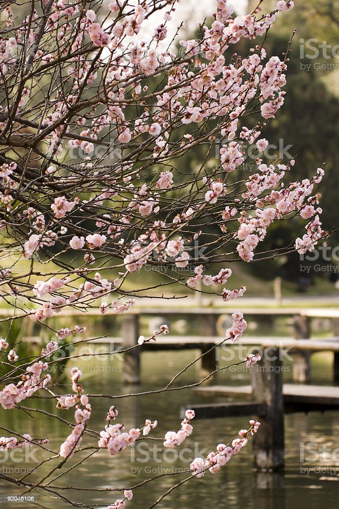 Japanese Garden Cherry royalty-free stock photo