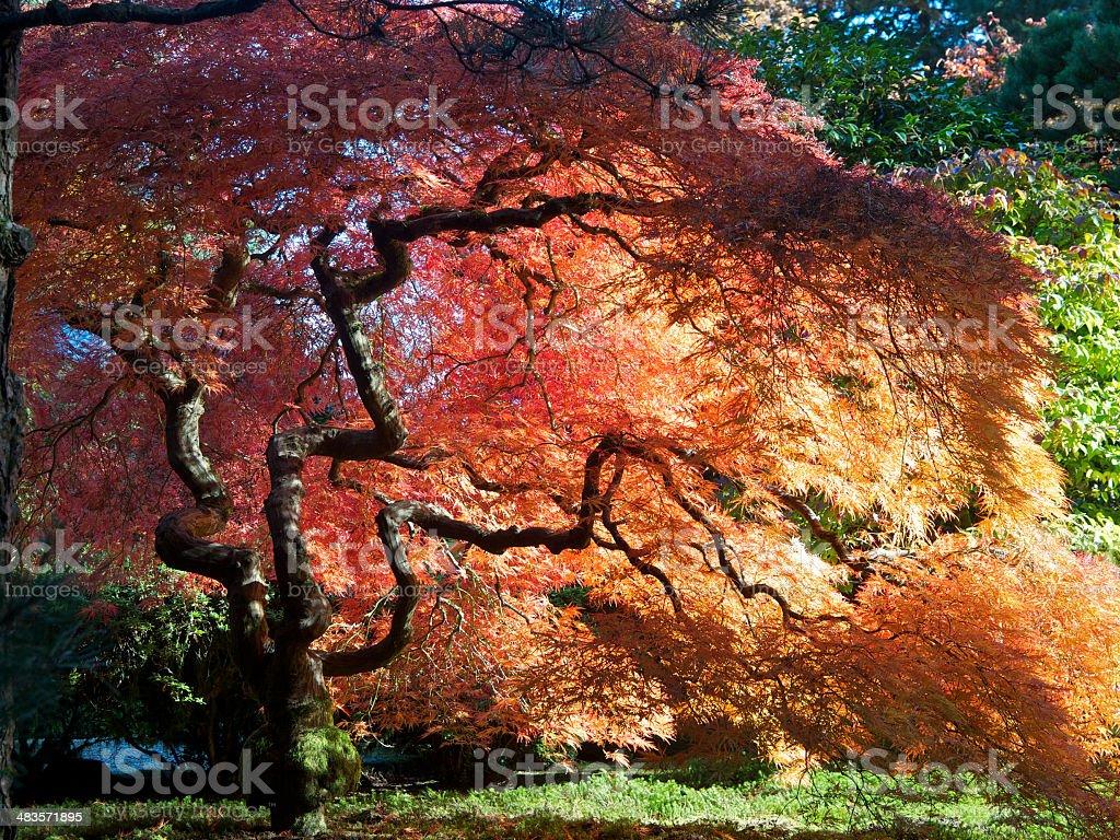 Japanese Garden Fall Colors Maple Tree Portland Oregon royalty-free stock photo