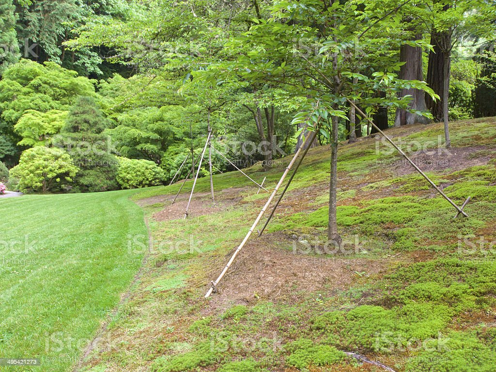 Japanese Garden Tree Supports Brace Portland Oregon Spring royalty-free stock photo