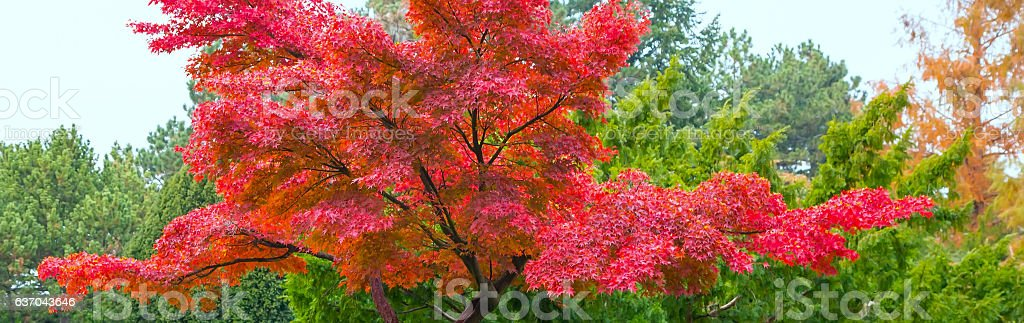 Japanese garden with red maple stock photo