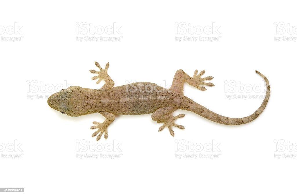 Japanese Gecko stock photo
