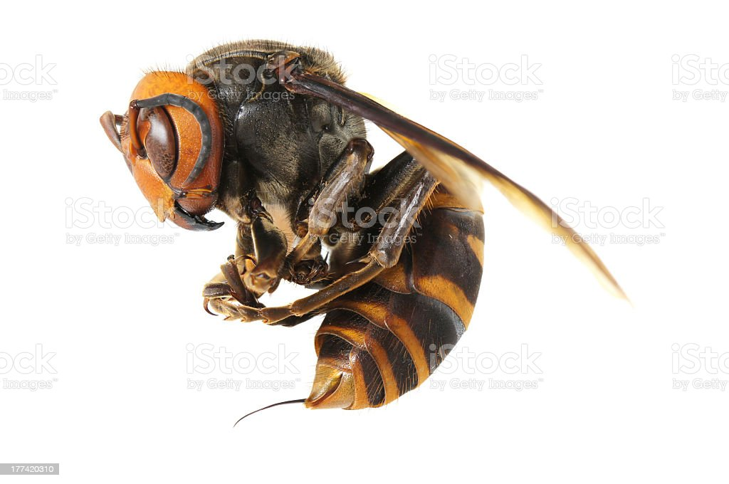 Japanese giant hornet isolated on a white studio background stock photo