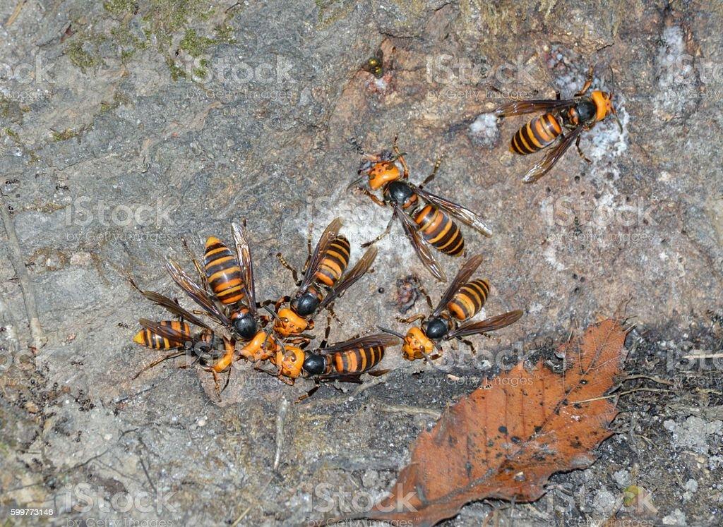 Japanese giant hornet stock photo