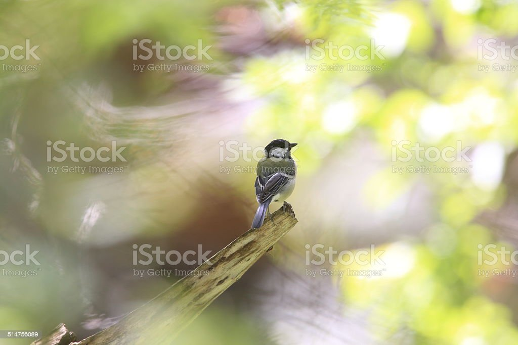 Japanese great tit on the branch of tree stock photo