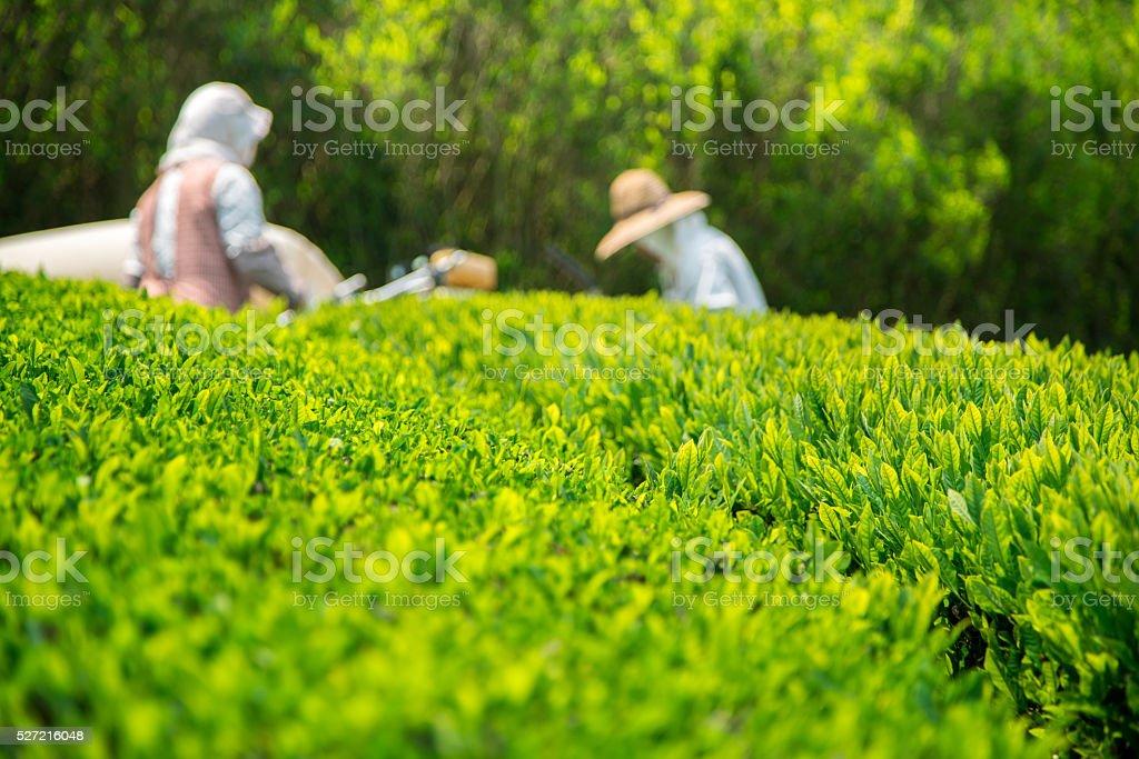 Japanese Green Tea stock photo
