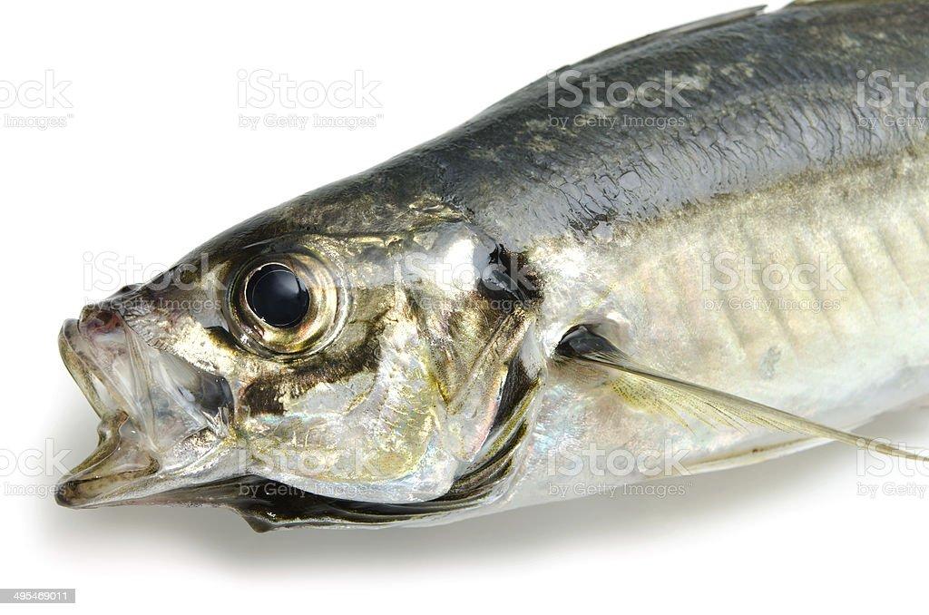 Japanese Horse Mackerel-Trachurus japonicus stock photo