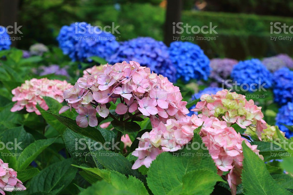 Japanese Hydrangea stock photo