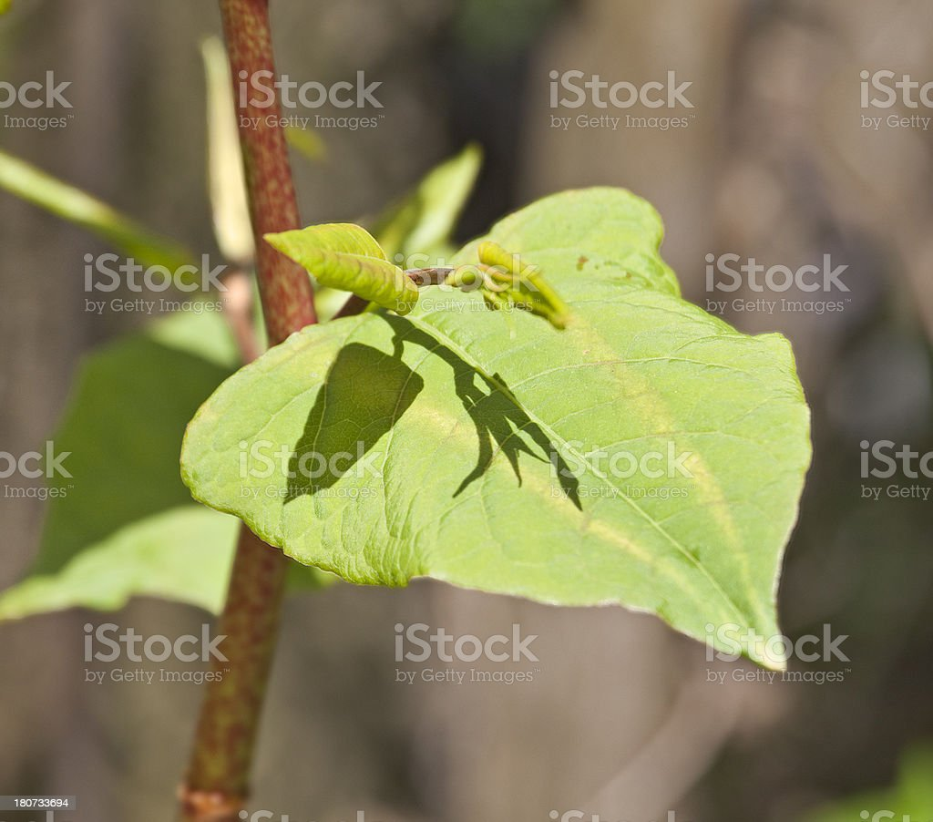 Japanese Knotweed in early spring stock photo
