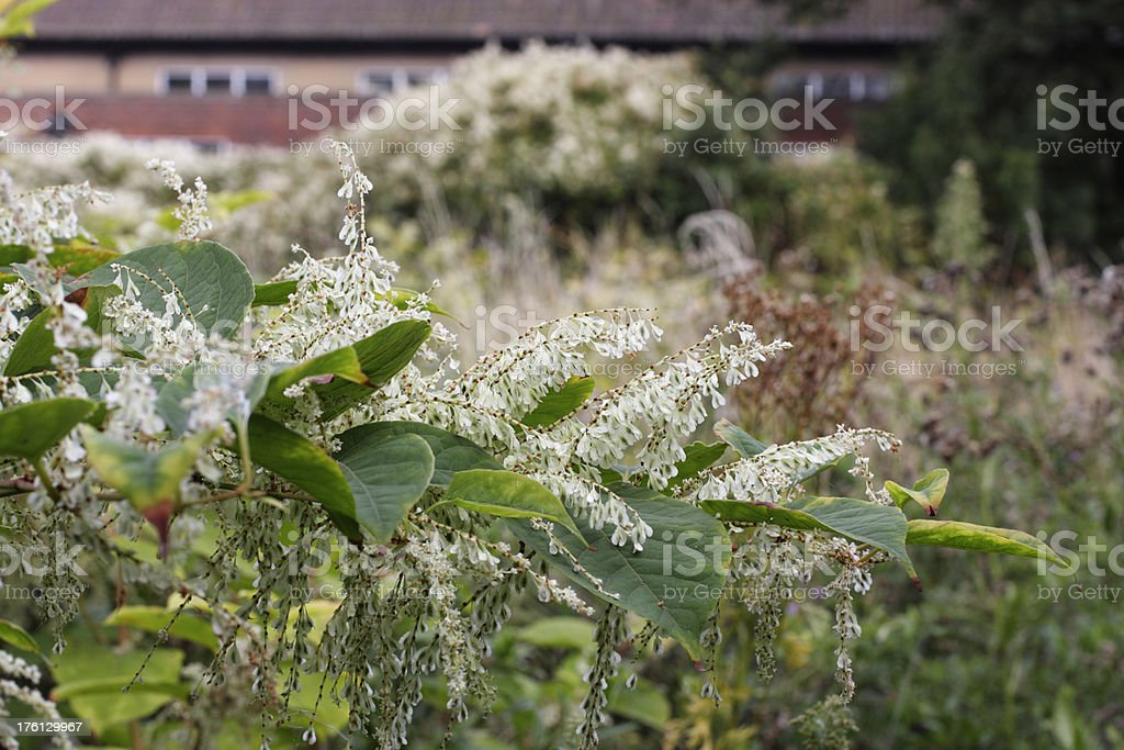 Flowering plant invader Japanese knotweed Fallopia japonica stock photo