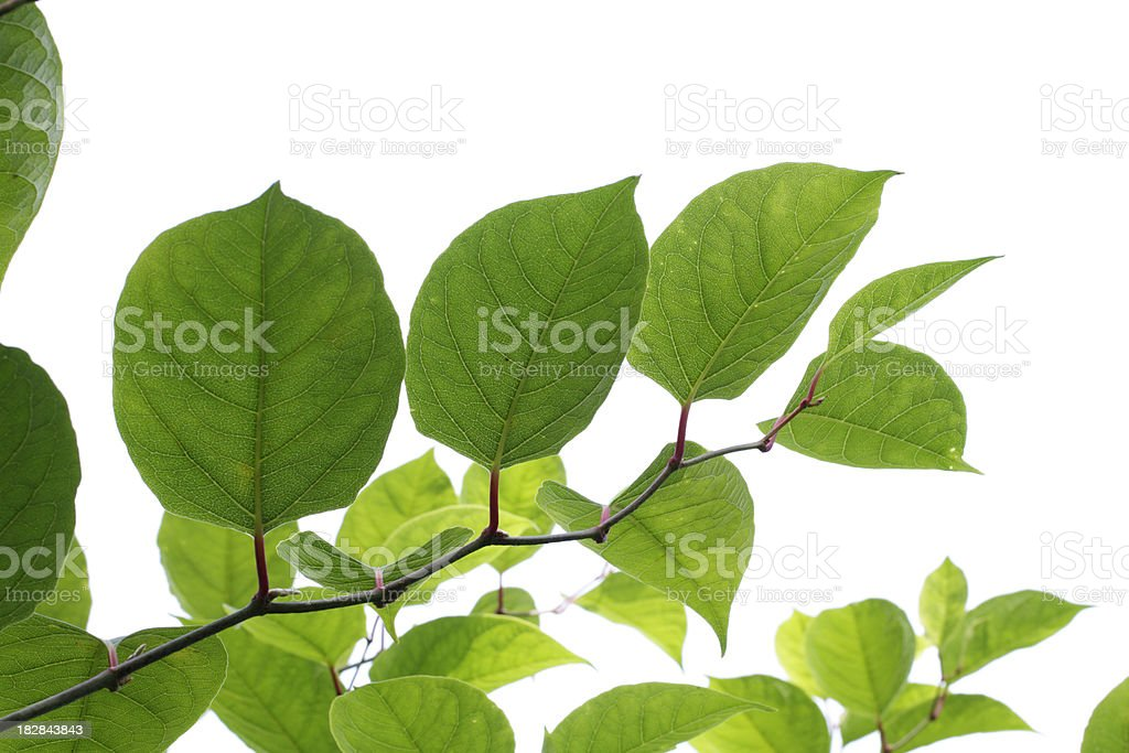 Japanese knotweed Fallopia japonica leaves of plant invader stock photo