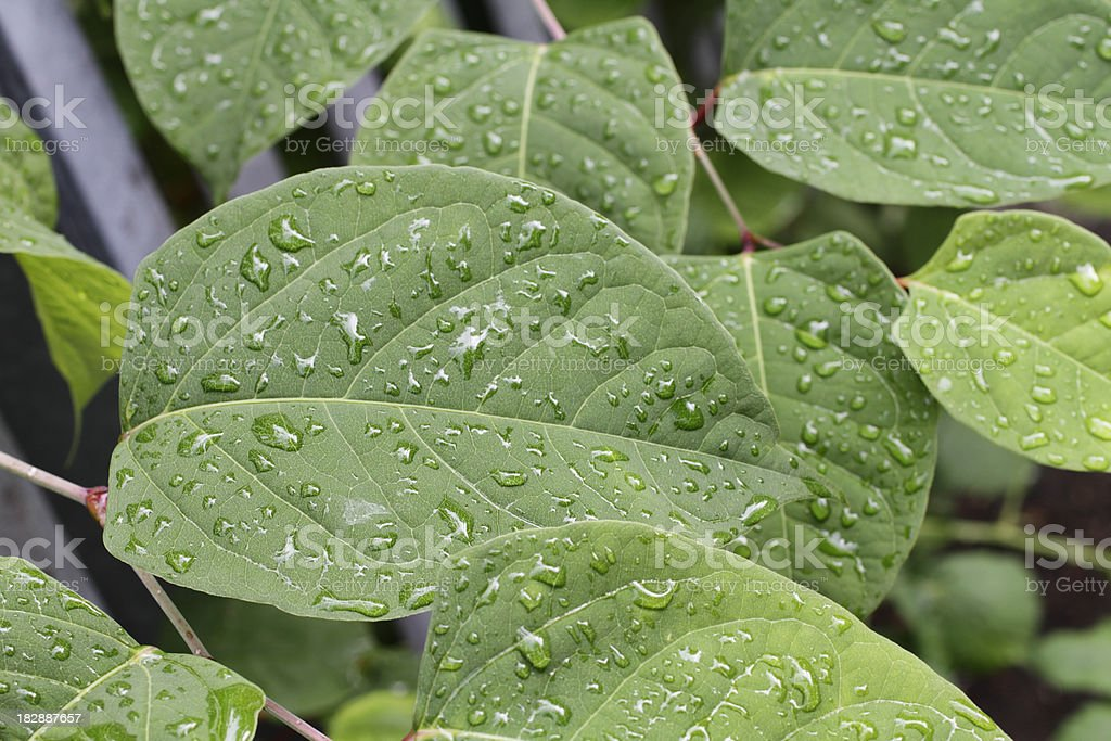 Japanese knotweed Fallopia japonica rain-spattered leaves of plant invader stock photo