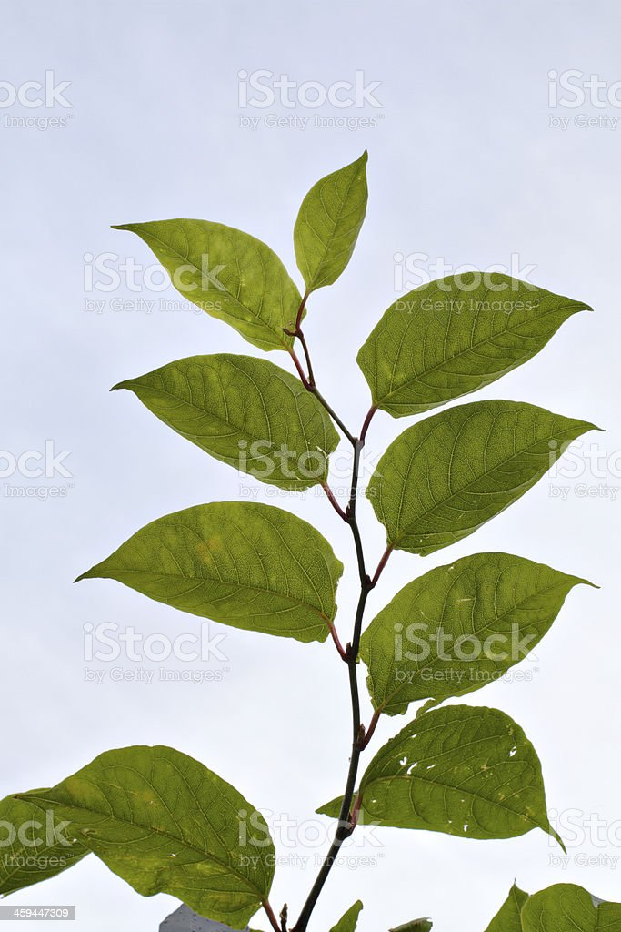 Leaves of plant invader Japanese knotweed Fallopia japonica stock photo