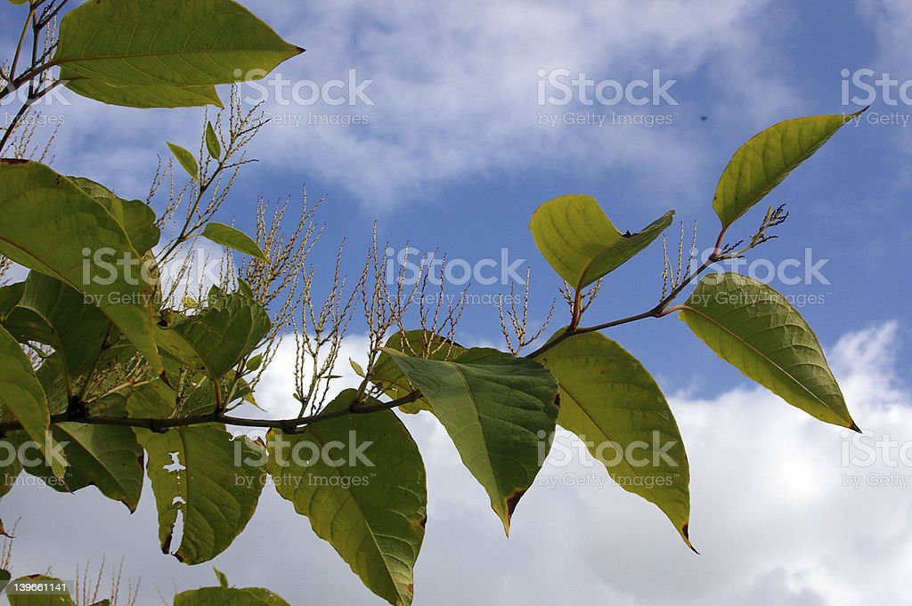 Japanese Knotwwed 08 stock photo
