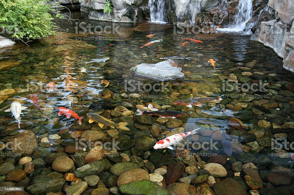 Japanese Koi Fish Pond royalty-free stock photo