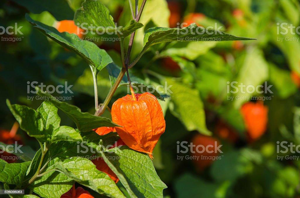Japanese lantern plant stock photo