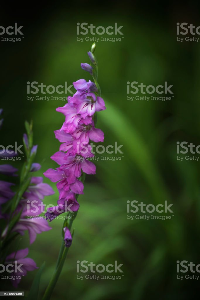 Japanese lily flower in bloom stock photo