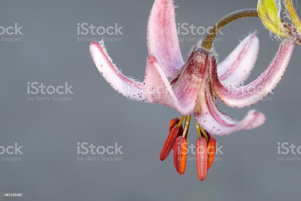 Japanese lily stock photo