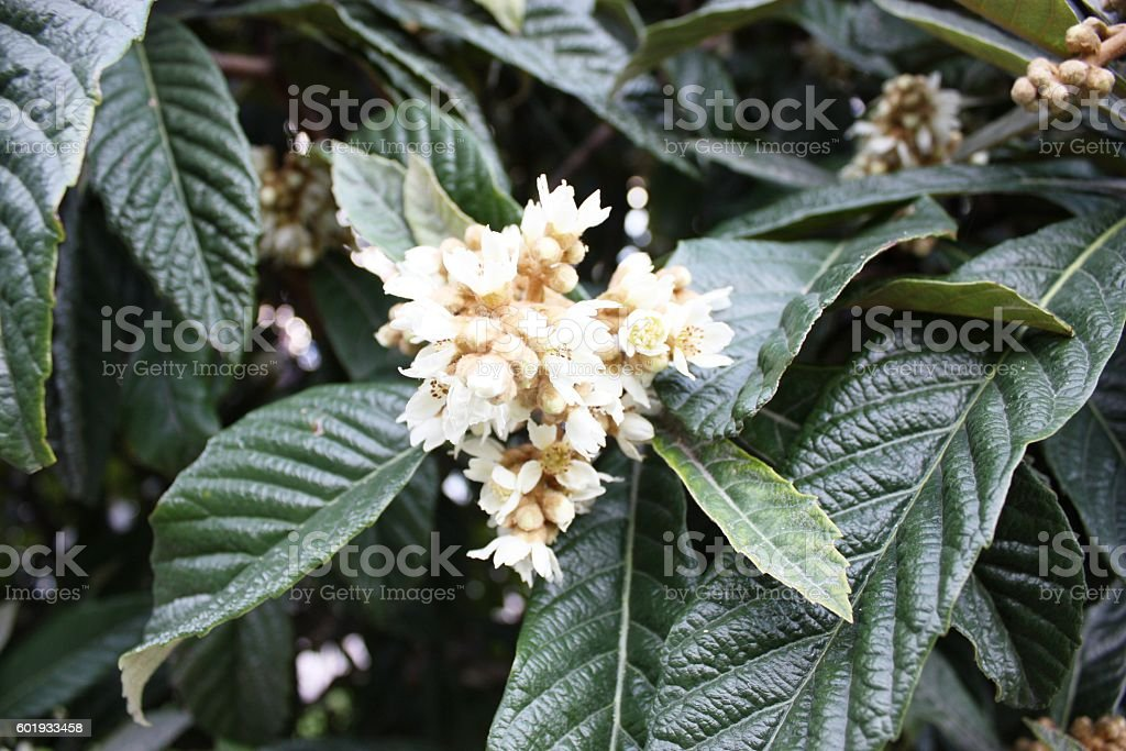 Japanese loquats blooming white in the garden, Tuscany Italy stock photo