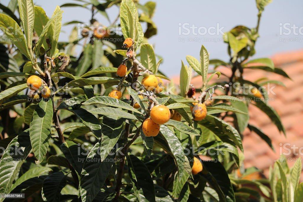 Japanese loquats ripe on tree in the garden, Tuscany Italy stock photo