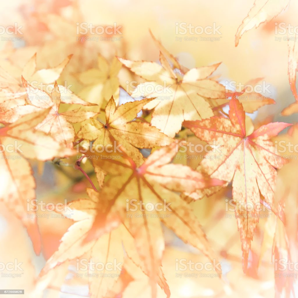 Japanese Mable Leaves stock photo
