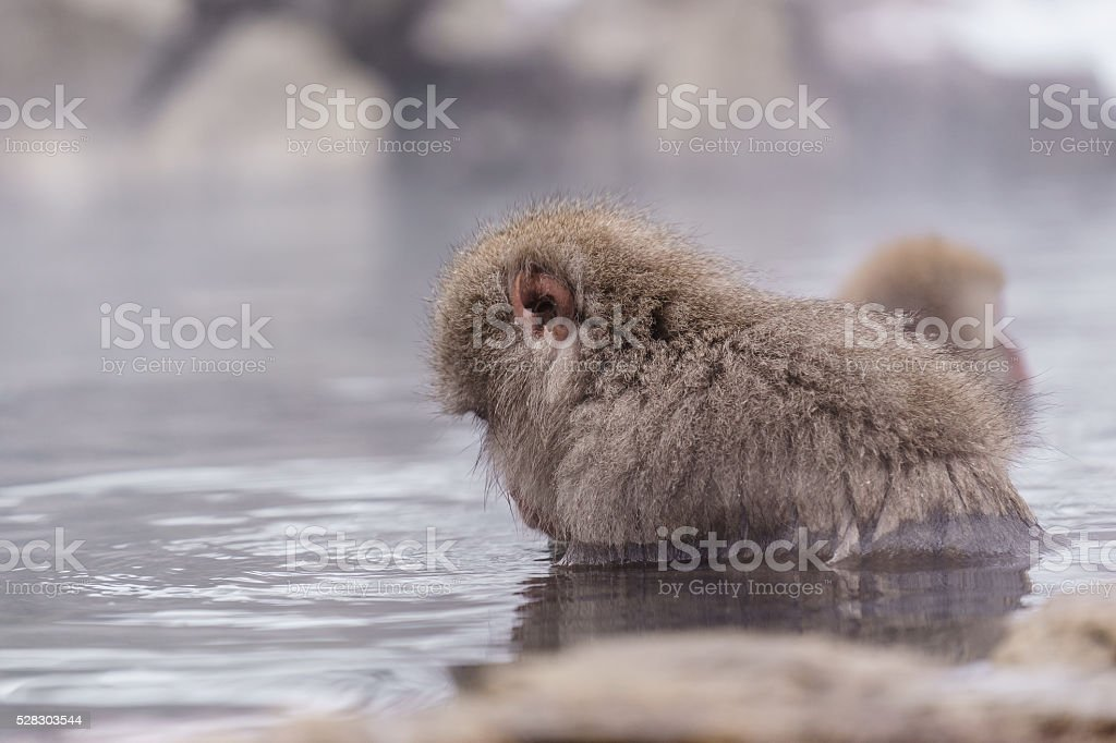 Japanese macaque bathing in hot springs, Nagano, Japan stock photo