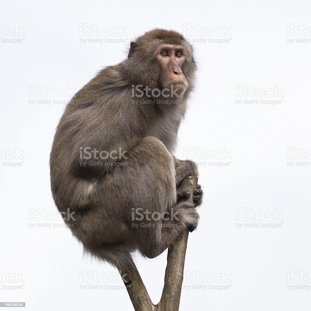 Japanese Macaque in a bare treetop stock photo
